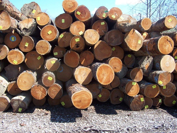 Cherry saw logs for export